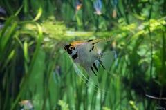 Ασημένιος στενός επάνω angelfish Στοκ εικόνες με δικαίωμα ελεύθερης χρήσης