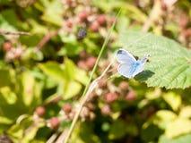 Ασημένιος-στερεωμένα μπλε πεταλούδα & x28 Plebejus argus& x29  Στο πλήρες φτερό φύλλων Στοκ φωτογραφία με δικαίωμα ελεύθερης χρήσης