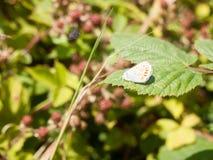 Ασημένιος-στερεωμένη μπλε πεταλούδα Plebejus Argus στο φύλλο Στοκ εικόνα με δικαίωμα ελεύθερης χρήσης