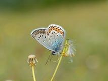 Ασημένιος-στερεωμένη μπλε πεταλούδα - Plebejus Argus Στοκ εικόνες με δικαίωμα ελεύθερης χρήσης