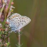 Ασημένιος-στερεωμένη μπλε (Plebejus Argus) πεταλούδα με underside ορατό Στοκ Φωτογραφίες