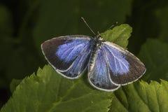 Ασημένιος-στερεωμένο μπλε (Plebeius Argus) Στοκ εικόνα με δικαίωμα ελεύθερης χρήσης