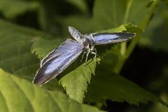 Ασημένιος-στερεωμένο μπλε (Plebeius Argus) Στοκ Φωτογραφία