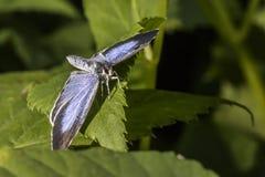 Ασημένιος-στερεωμένο μπλε (Plebeius Argus) Στοκ φωτογραφία με δικαίωμα ελεύθερης χρήσης
