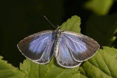 Ασημένιος-στερεωμένο μπλε (Plebeius Argus) Στοκ εικόνες με δικαίωμα ελεύθερης χρήσης