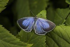 Ασημένιος-στερεωμένο μπλε (Plebeius Argus) Στοκ Φωτογραφίες