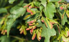 Ασημένιος σφένδαμνος, saccarinum Acer Στοκ Εικόνες