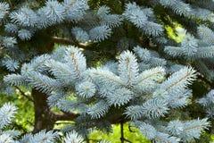 Ασημένιο δέντρο έλατου Στοκ Φωτογραφίες