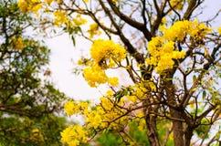 Ασημένιο δέντρο σαλπίγγων Στοκ Εικόνες