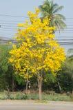 Ασημένιο δέντρο σαλπίγγων Στοκ Εικόνα