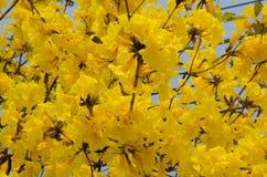 Ασημένιο δέντρο σαλπίγγων Στοκ εικόνα με δικαίωμα ελεύθερης χρήσης