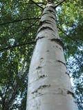 Ασημένιο δέντρο σημύδων κλαίουσας Σημύδας Στοκ εικόνες με δικαίωμα ελεύθερης χρήσης