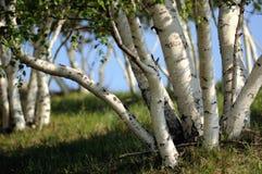 ασημένιο δάσος σημύδων Στοκ Φωτογραφίες