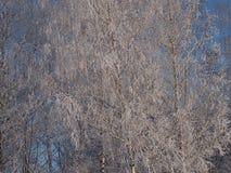 Ασημένιο ξύλο Στοκ Εικόνες
