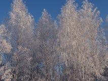 Ασημένιο ξύλο Στοκ εικόνα με δικαίωμα ελεύθερης χρήσης