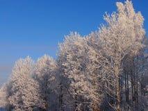 Ασημένιο ξύλο Στοκ εικόνες με δικαίωμα ελεύθερης χρήσης