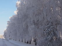 Ασημένιο ξύλο Στοκ Φωτογραφία