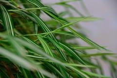 Ασημένιο φυτό φύλλων Στοκ Εικόνες