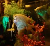 Ασημένιο Angelfish Στοκ Φωτογραφίες
