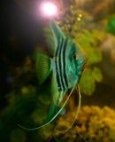 Ασημένιο Angelfish Στοκ φωτογραφία με δικαίωμα ελεύθερης χρήσης