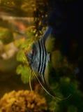 Ασημένιο Angelfish Στοκ Εικόνες