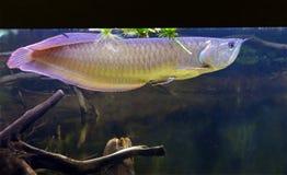 Ασημένιο arawana ψαριών Στοκ εικόνες με δικαίωμα ελεύθερης χρήσης
