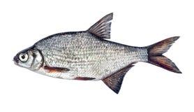 Ασημένιο bream ψαριών με τις κλίμακες που απομονώνονται στο άσπρο bjoerkna Blicca υποβάθρου Στοκ Φωτογραφία