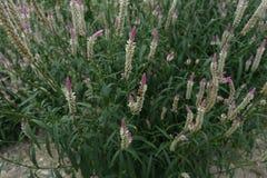 Ασημένιο cockscomb Celosia argentea/ Στοκ Εικόνες