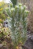 Ασημένιο Protea Στοκ εικόνες με δικαίωμα ελεύθερης χρήσης