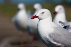 ασημένιο standout γλάρων Στοκ Εικόνες