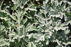 Ασημένιο wormwood (Artemisia stelleriana) Στοκ Φωτογραφία