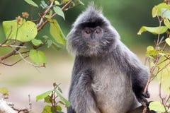 Ασημωμένος πίθηκος φύλλων Στοκ εικόνες με δικαίωμα ελεύθερης χρήσης
