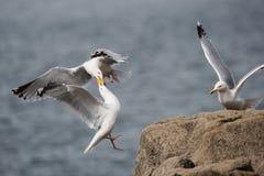 Ασημόγλαρος, γλάρος, argentatus Larus Στοκ εικόνα με δικαίωμα ελεύθερης χρήσης