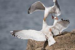 Ασημόγλαρος, γλάρος, argentatus Larus Στοκ φωτογραφίες με δικαίωμα ελεύθερης χρήσης
