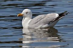 Ασημόγλαρος που κολυμπά στο νερό Στοκ Φωτογραφίες