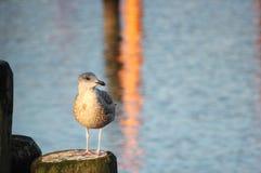 Ασημόγλαρος στην ξύλινη ακτίνα Στοκ εικόνες με δικαίωμα ελεύθερης χρήσης