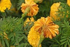 Ασθένεια εγκαταστάσεων, χρυσή marigold αποσύνθεση λουλουδιών Στοκ εικόνα με δικαίωμα ελεύθερης χρήσης