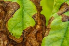 Ασθένεια των οπωρωφόρων δέντρων στοκ φωτογραφίες με δικαίωμα ελεύθερης χρήσης