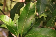 Ασθένεια φυτού, ασθένεια φύλλων μάγκο Στοκ Εικόνα