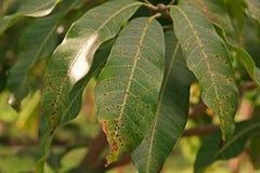 Ασθένεια φυτού, ασθένεια φύλλων μάγκο Στοκ Φωτογραφίες
