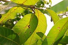 Ασθένεια φυτού, ασθένεια φύλλων μάγκο Στοκ Εικόνες
