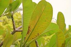 Ασθένεια φύλλων Plumeria, ασθένεια φυτών Στοκ Φωτογραφίες