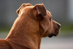 ασθενής σκυλιών Στοκ φωτογραφία με δικαίωμα ελεύθερης χρήσης