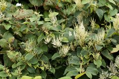 Ασιάτης το japonica Fallopia Στοκ Εικόνες