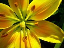 Ασιάτης lilly Στοκ Φωτογραφίες