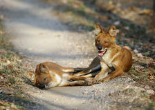ασιατικά άγρια σκυλιά Στοκ φωτογραφίες με δικαίωμα ελεύθερης χρήσης