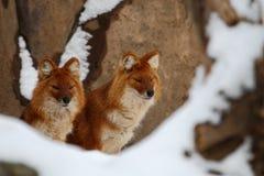 ασιατικά άγρια σκυλιά Στοκ Εικόνες