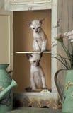 Ασιατικά γατάκια Στοκ Φωτογραφία