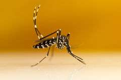 Ασιατικά κουνούπι & x28 τιγρών Aedes albopictus& x29  στοκ φωτογραφίες με δικαίωμα ελεύθερης χρήσης