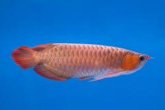 Ασιατικά κόκκινα ψάρια Arowana Στοκ Φωτογραφία